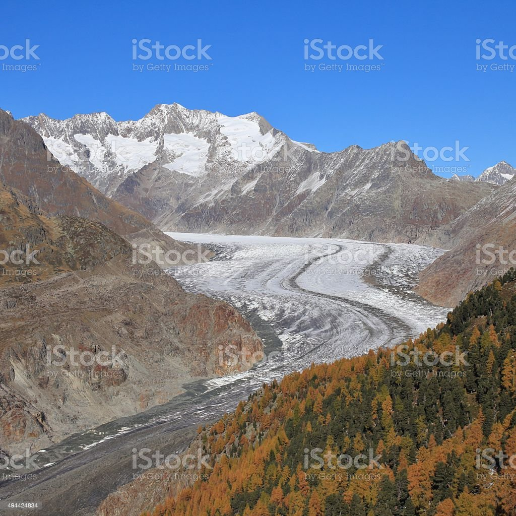 Curved Aletsch Glacier and golden larch forest stock photo