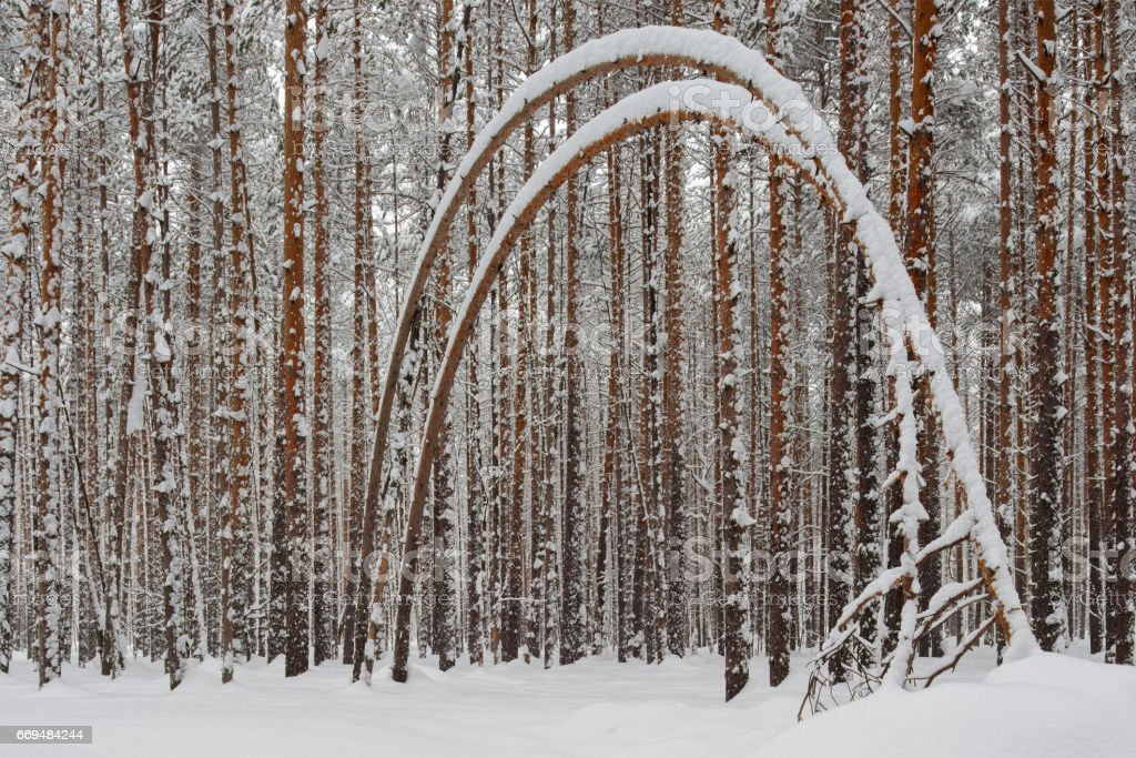 Curved pine trees in a snowy forest stock photo