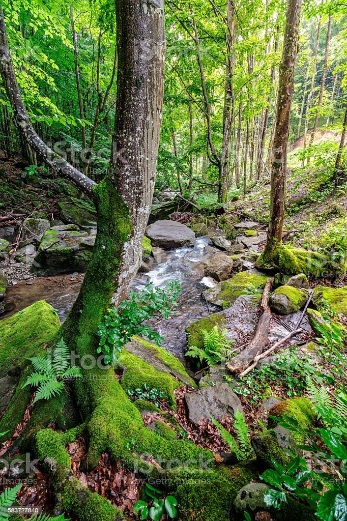 Curved tree among forest stream boulders stock photo