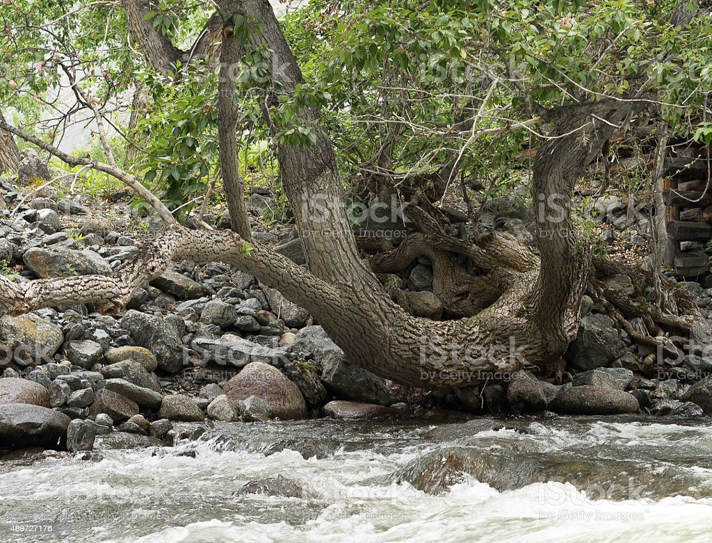Curved tree on the bank of a mountain river. stock photo