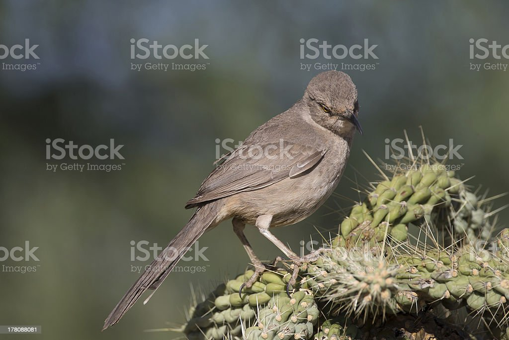 Curved-bill Thrasher looking down royalty-free stock photo