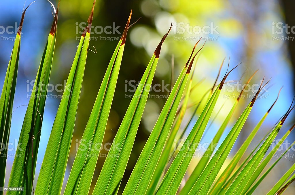 Curving edge of palm frond with dark separiating tips stock photo