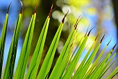 Curving edge of palm frond with dark separiating tips