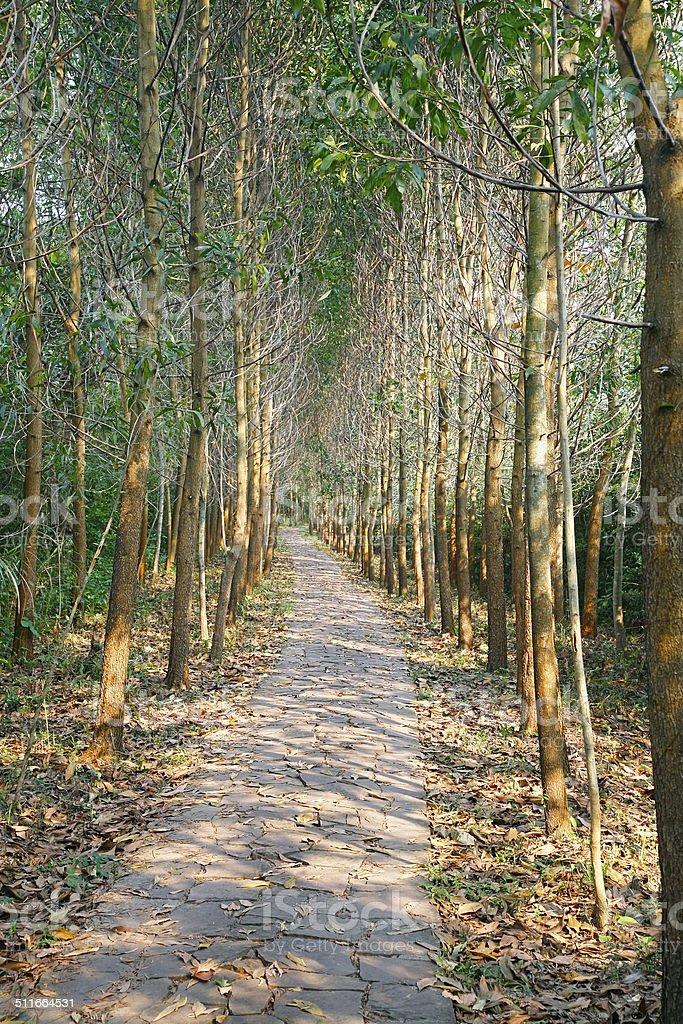 Curving path through narrow avenue of trees stock photo