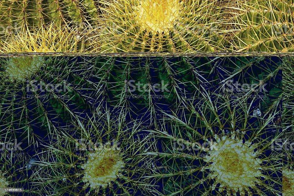 Cushion Cactus Mammillaria Succulent stock photo