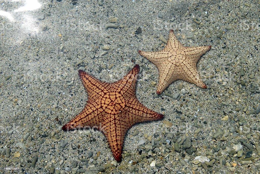 Cushion Sea Stars stock photo