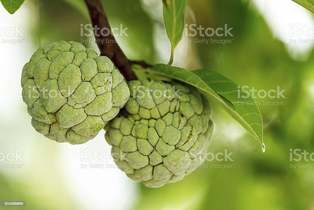 Custard apple fruit on tree. stock photo
