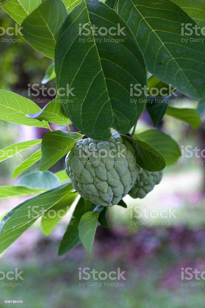 Custard apple fruit on tree. (Annona squamosa) stock photo