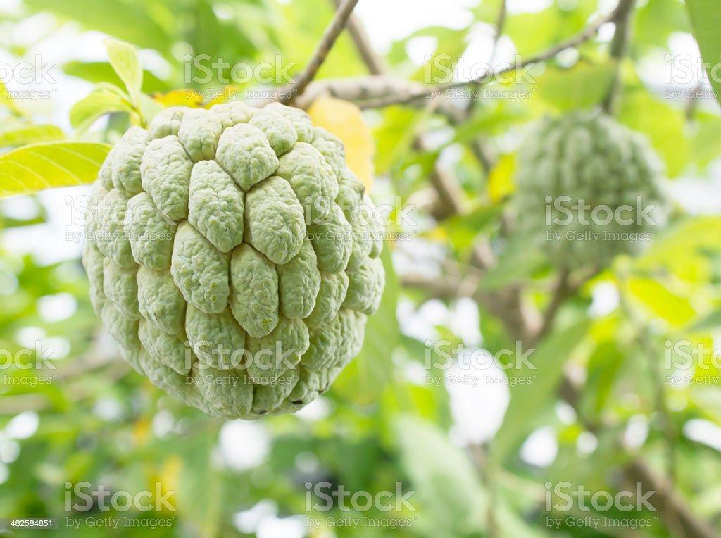 Custard apple fruit,Annona squamosa stock photo