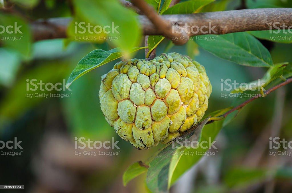 custard apple growing on a tree stock photo