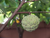 custard apple hanging on the tree