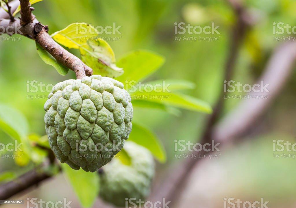 Custard apple stock photo
