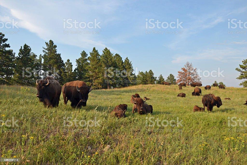 Custer Buffalo stock photo