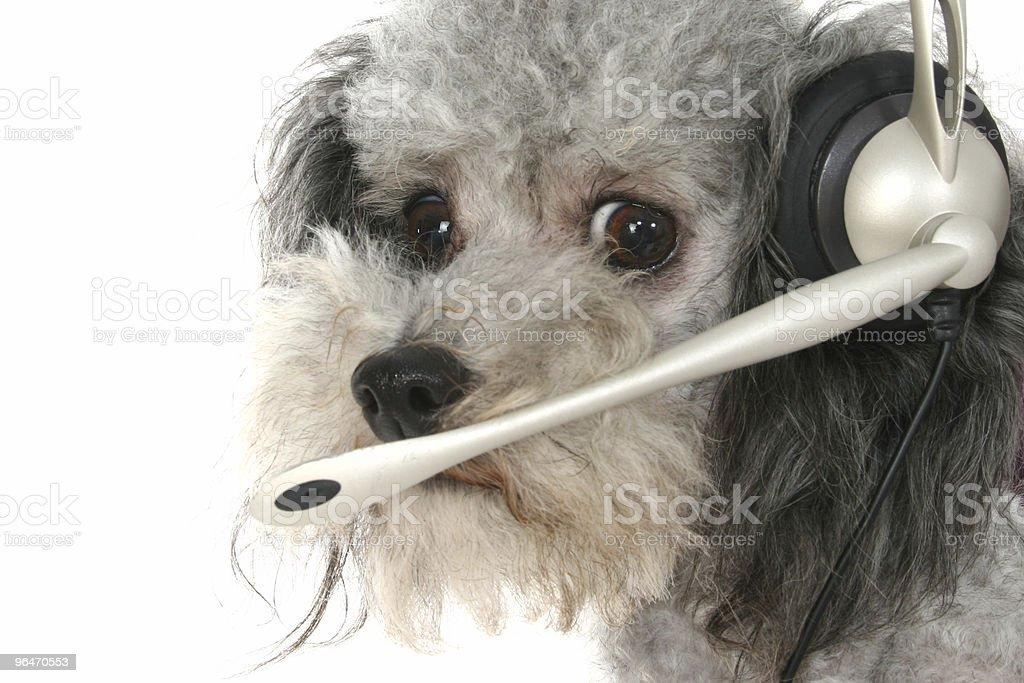 Customer Service Poodle stock photo