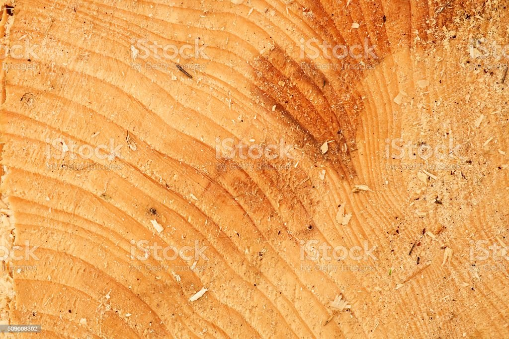 Cut alder tree with annual ring, saw dust. Tree stump stock photo