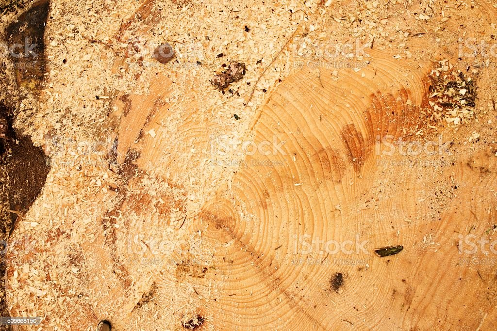 Cut alder tree with annual ring, sawdust and bark stock photo