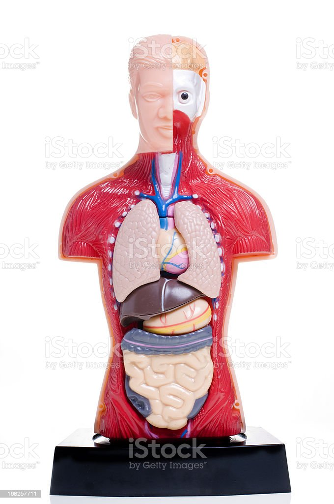 Cut Away Human Anatomy Model Against White Background stock photo