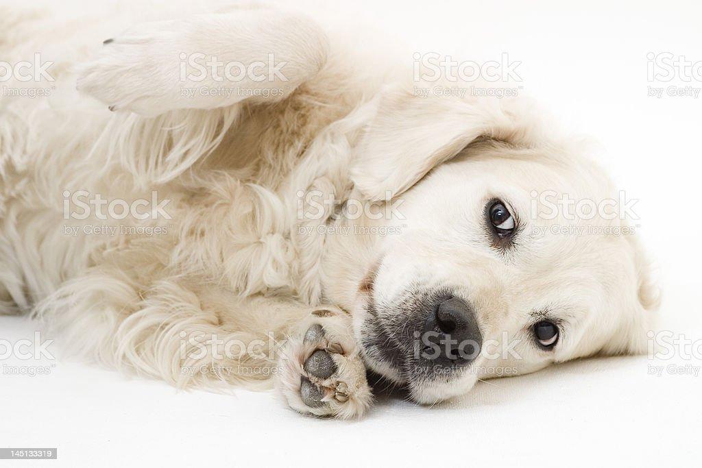 cut doggy royalty-free stock photo
