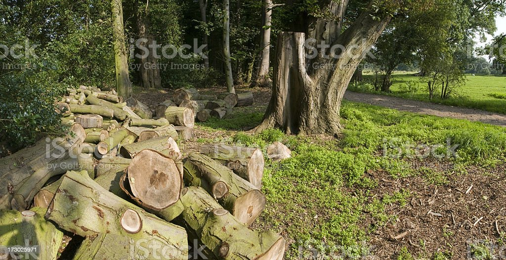 cut logs in forest stock photo