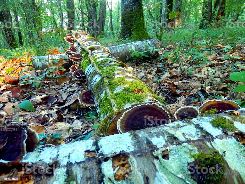Cut logs in the woods stock photo