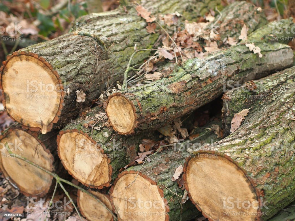 Cut oak tree logs on a forest ground. stock photo