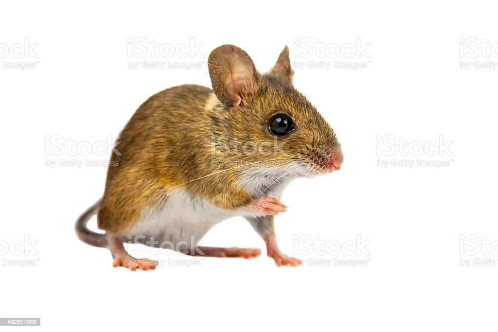 Cut out Field Mouse stock photo