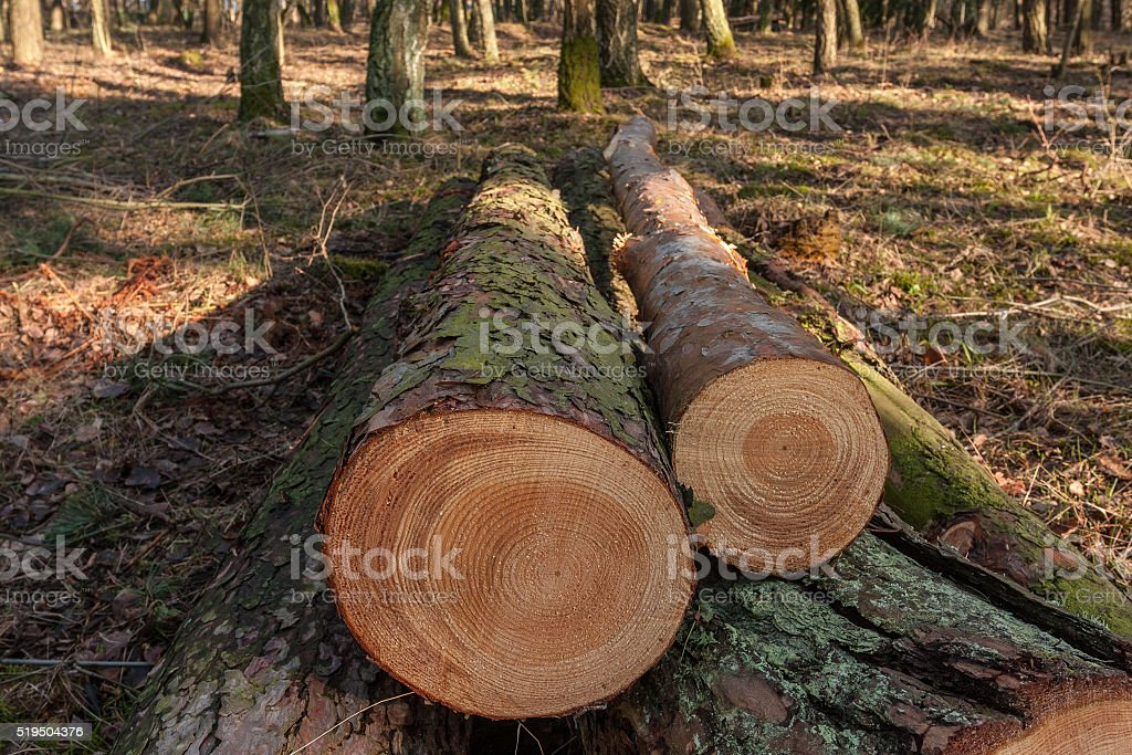 cut pine trees in the forest stock photo