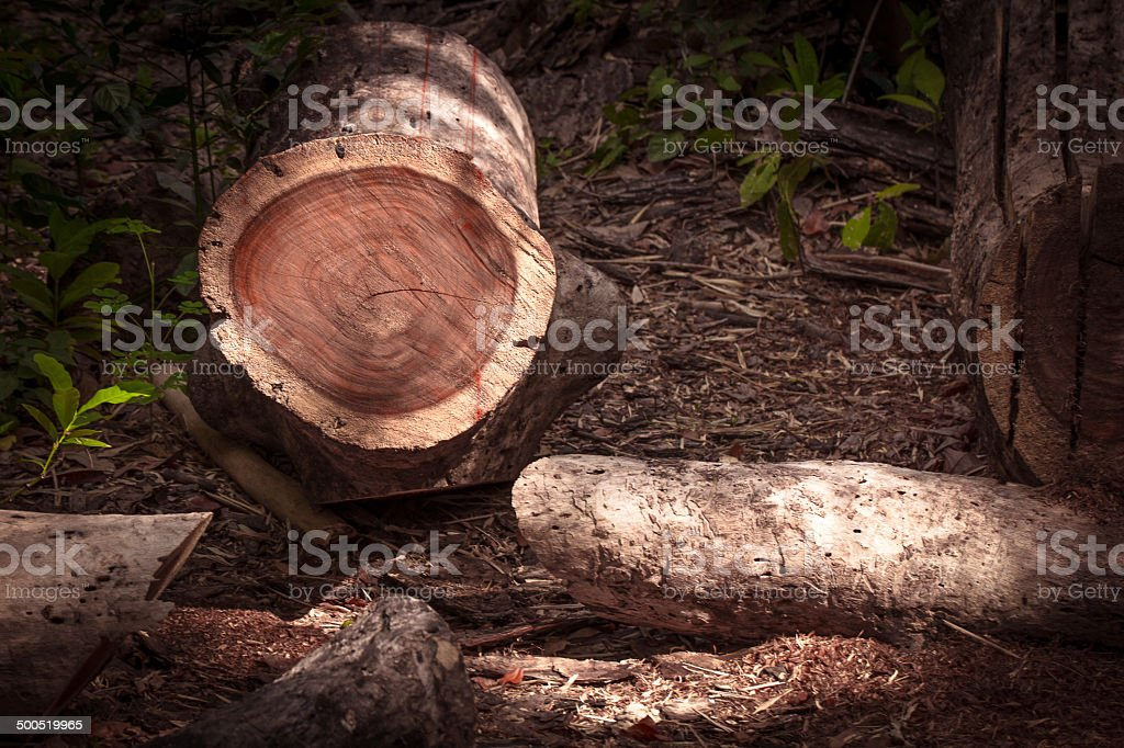 Cut stump dry dense forest deforestation. stock photo
