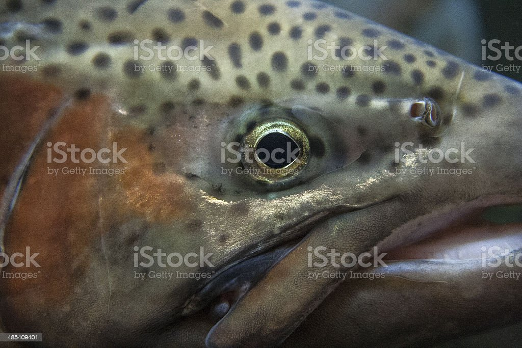 Cut Throat Fish eye royalty-free stock photo