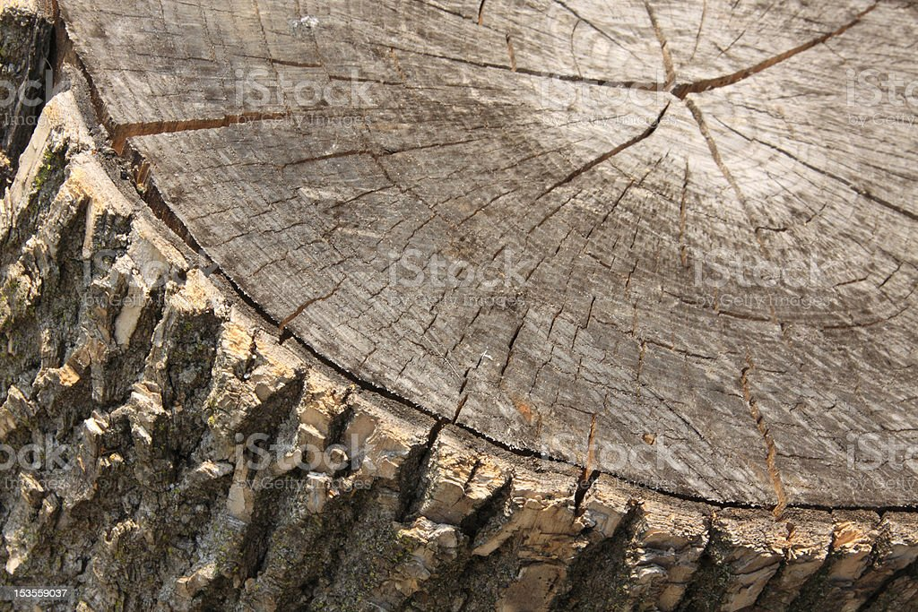 Cut tree royalty-free stock photo