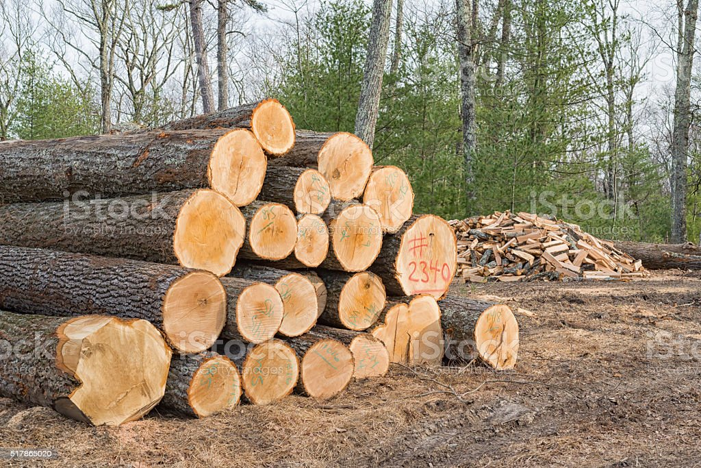 Cut Trees, Timber ready for the Saw Mill with Firewood. stock photo