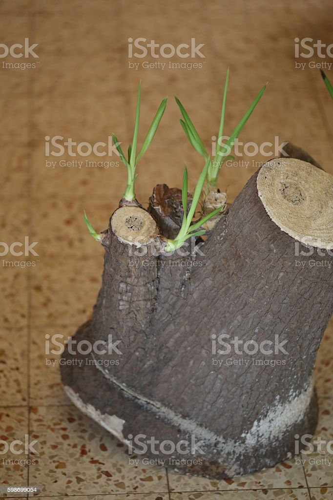 Cut Trunk Grows Leaves. stock photo