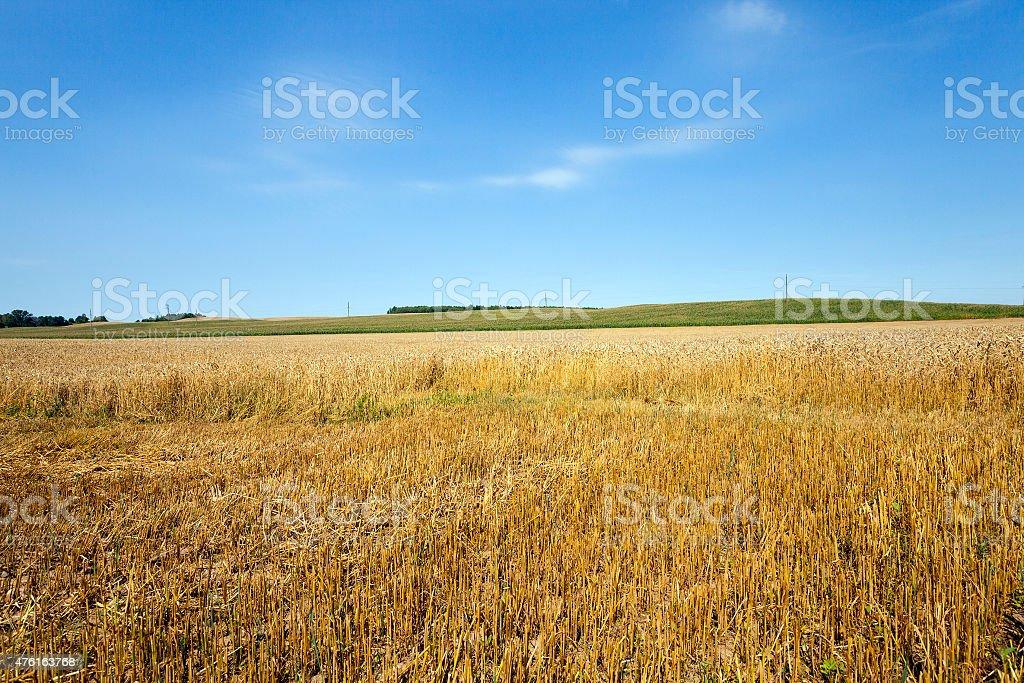 Cut wheat stock photo