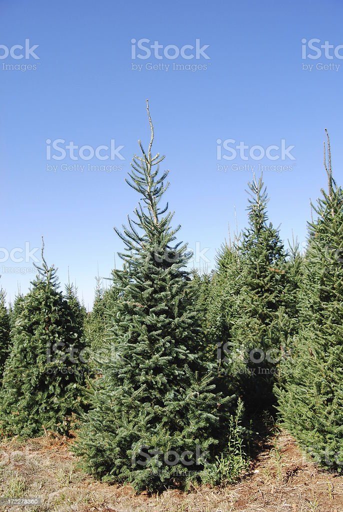 Cut Your Own ChristmasTree. stock photo