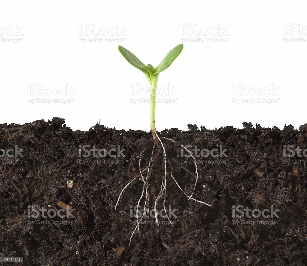 Cutaway of Plant and Roots in Dirt royalty-free stock photo