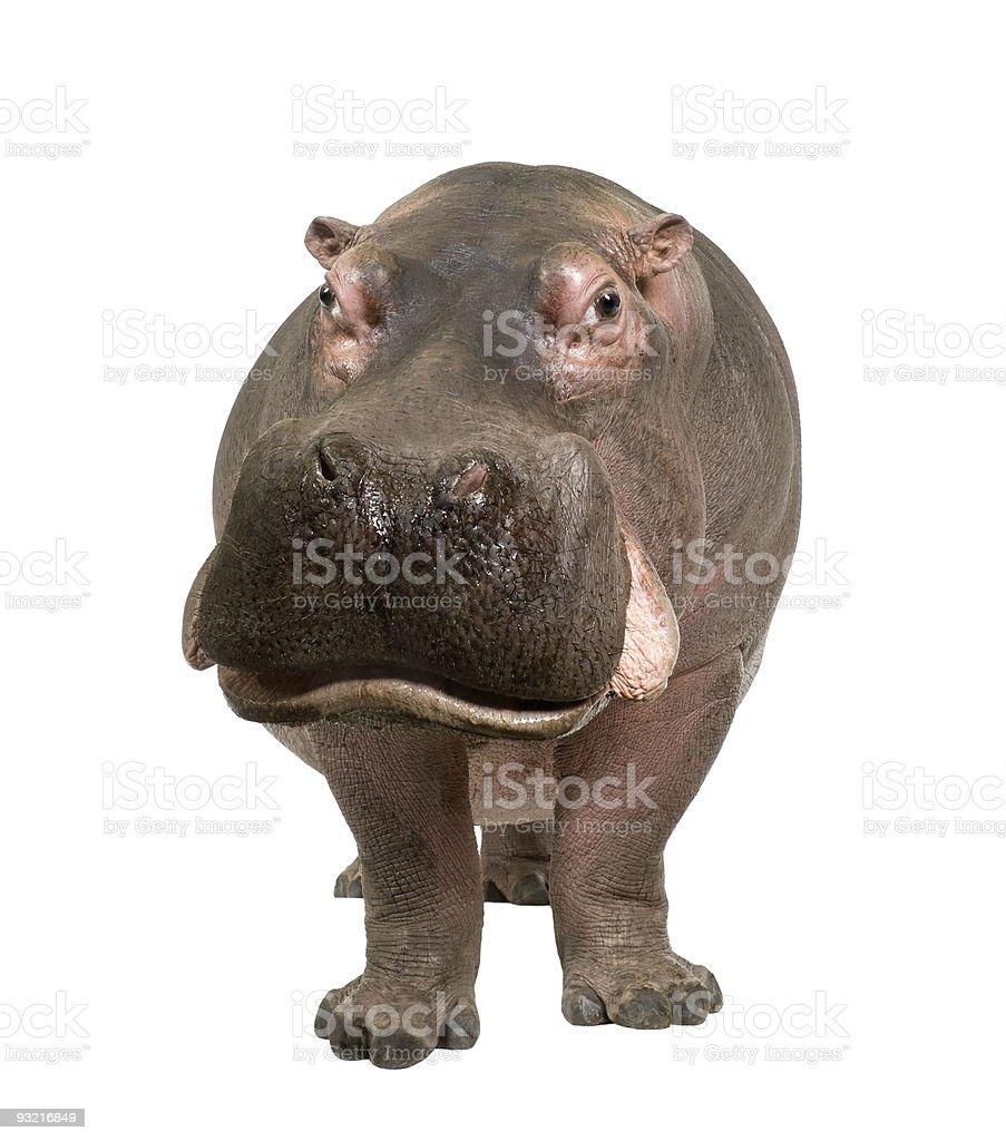 A cute 30-year-old hippopotamus stock photo