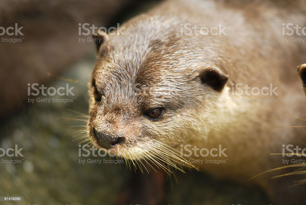 Cute adorable Otter stock photo