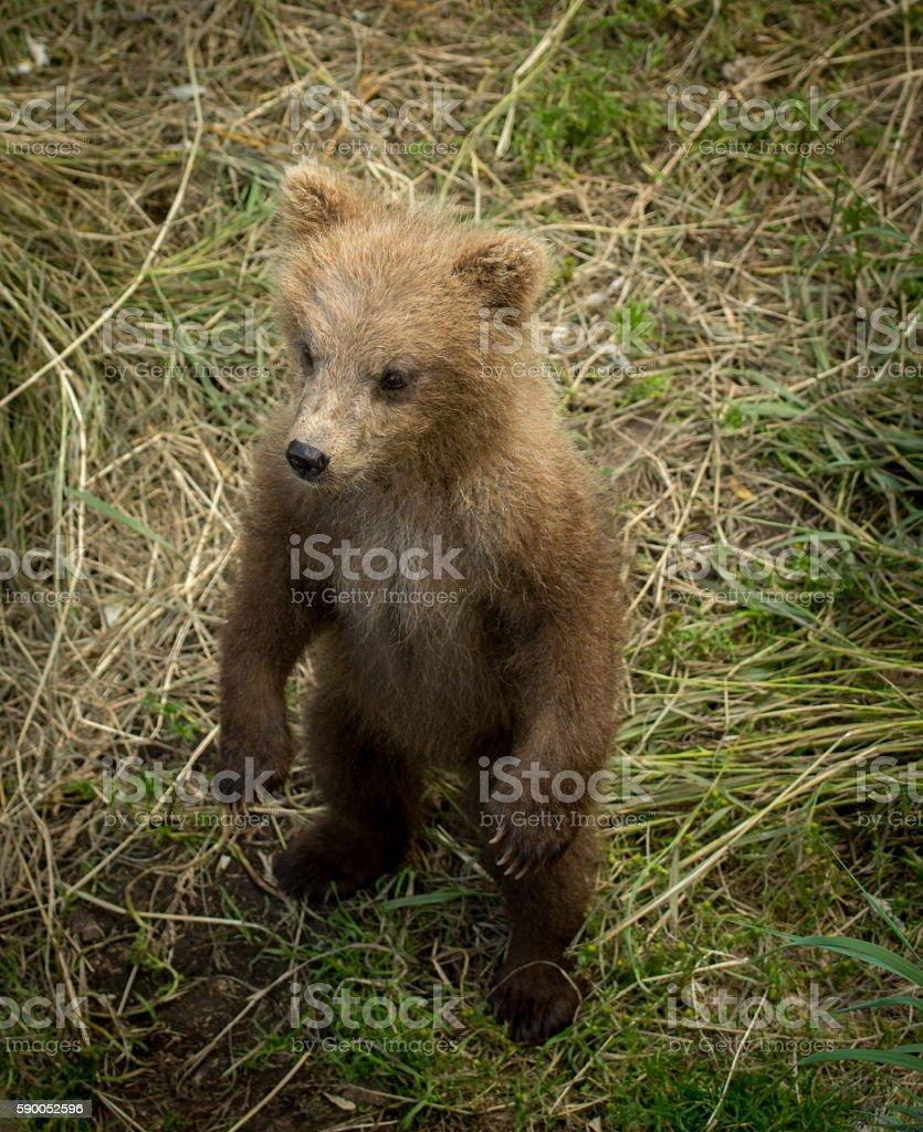 Cute Alaskan brown bear cub stock photo