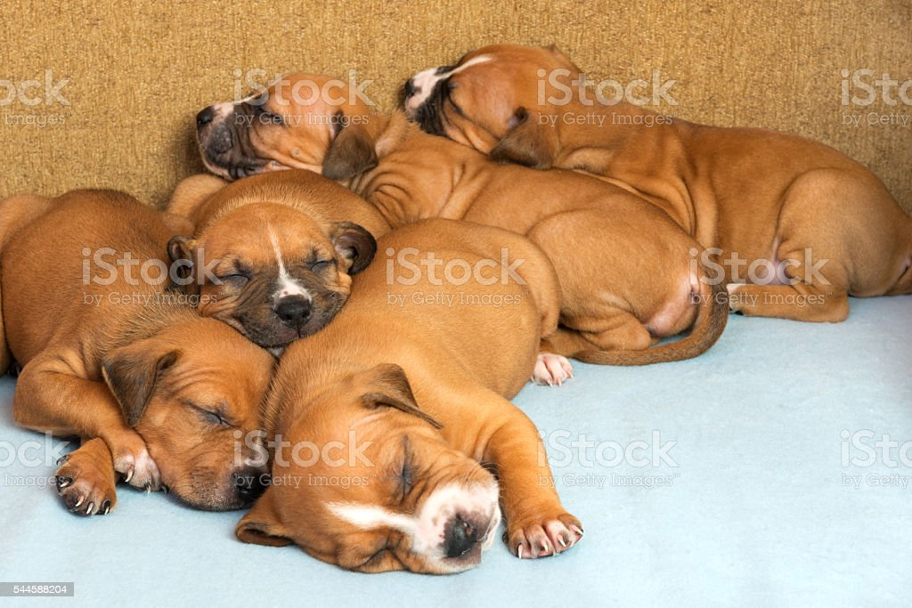 Cute amstaff puppy stock photo