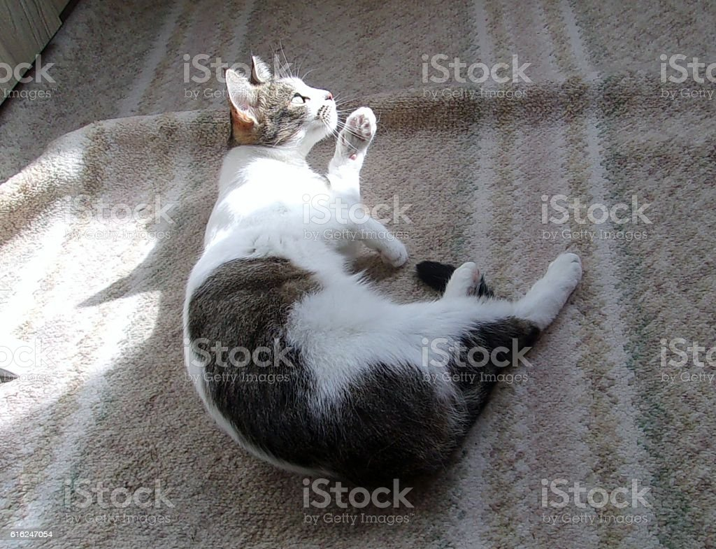 Cute and funny cat playing,modeling and posing for the camera stock photo