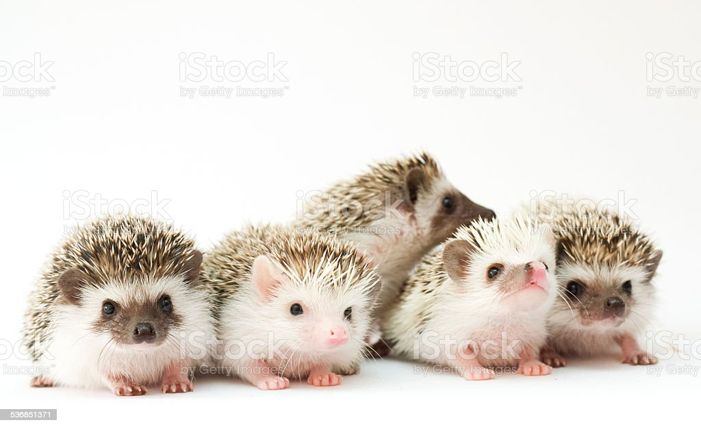 cute and sweet rodent hedgehog atelerix albiventris white background stock photo