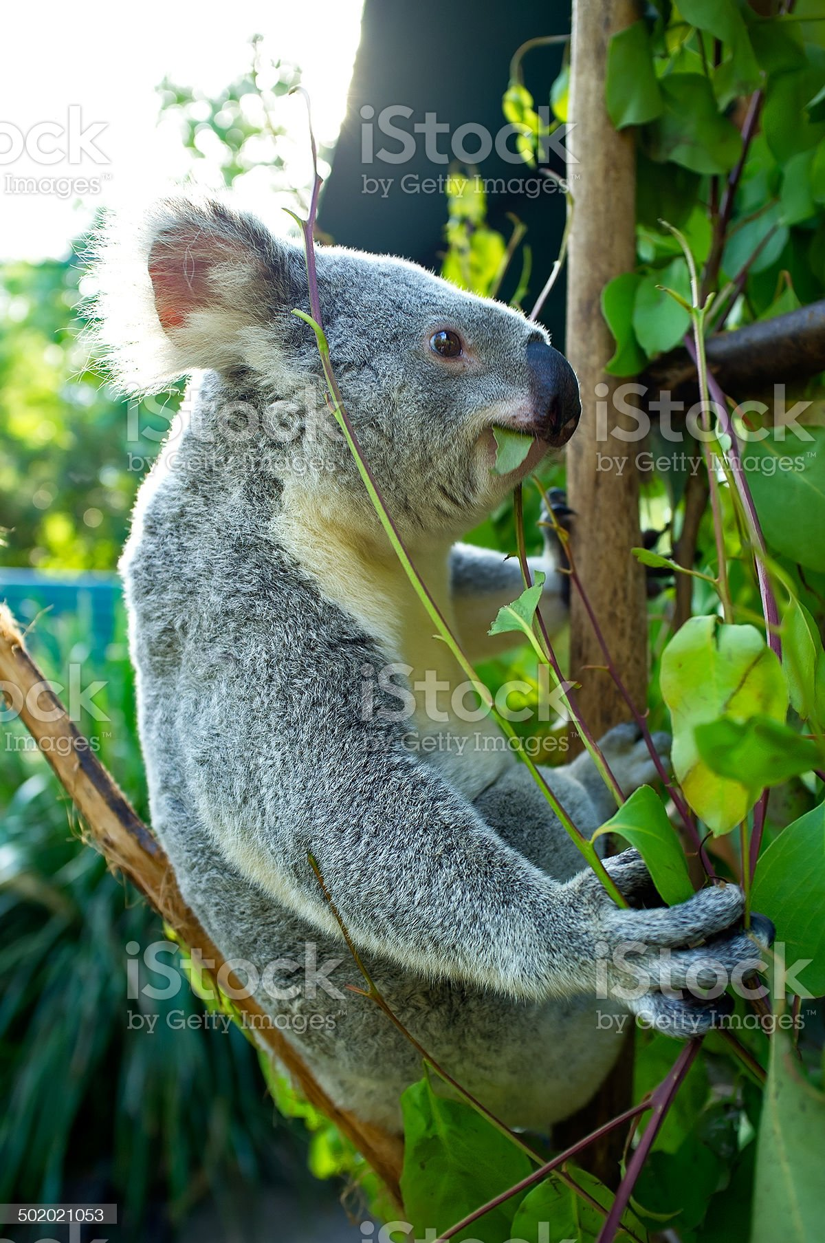 Cute Australian Koala Bear in a tree royalty-free stock photo