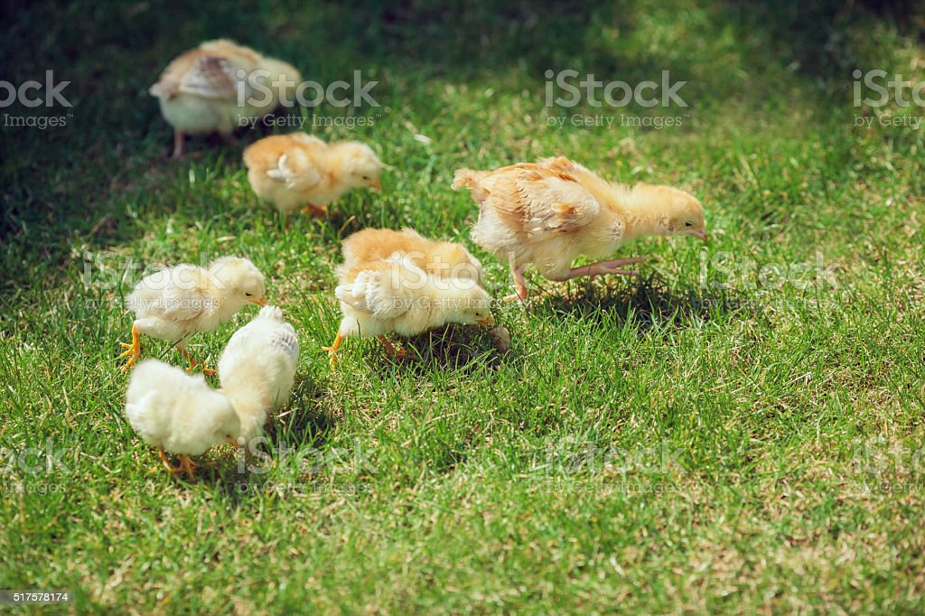 Cute Babies Chicken on nature background stock photo