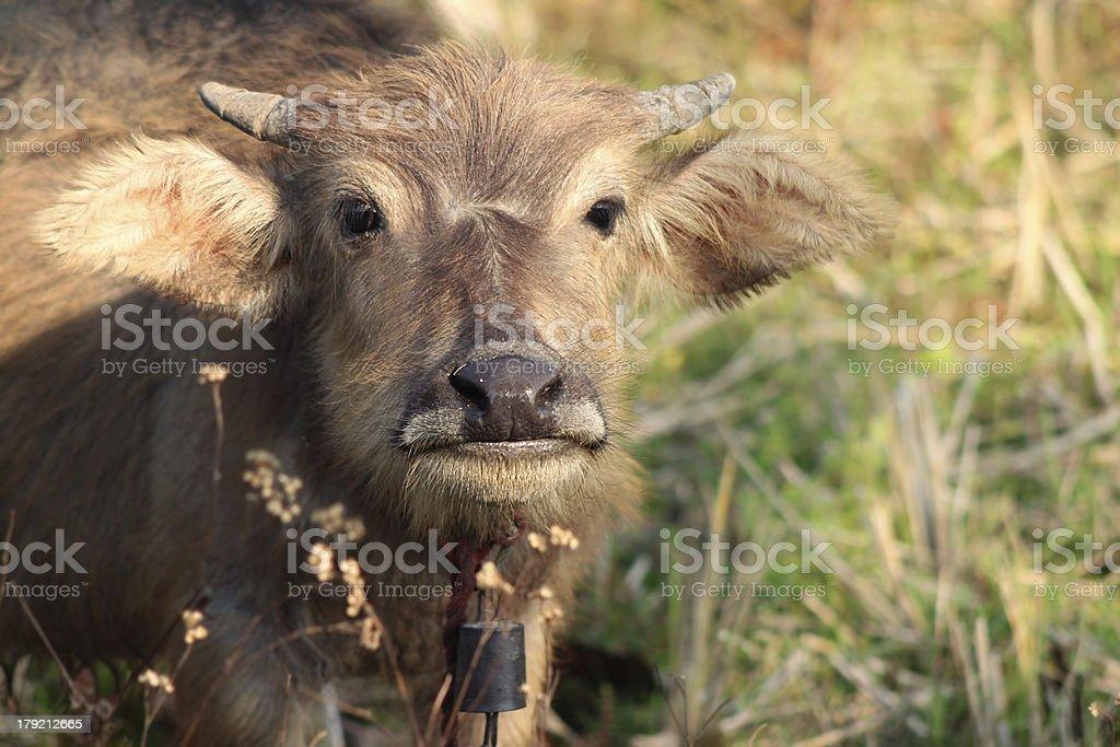 cute baby buffalo royalty-free stock photo