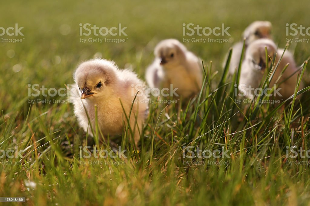 Cute baby chickens on in green grass stock photo