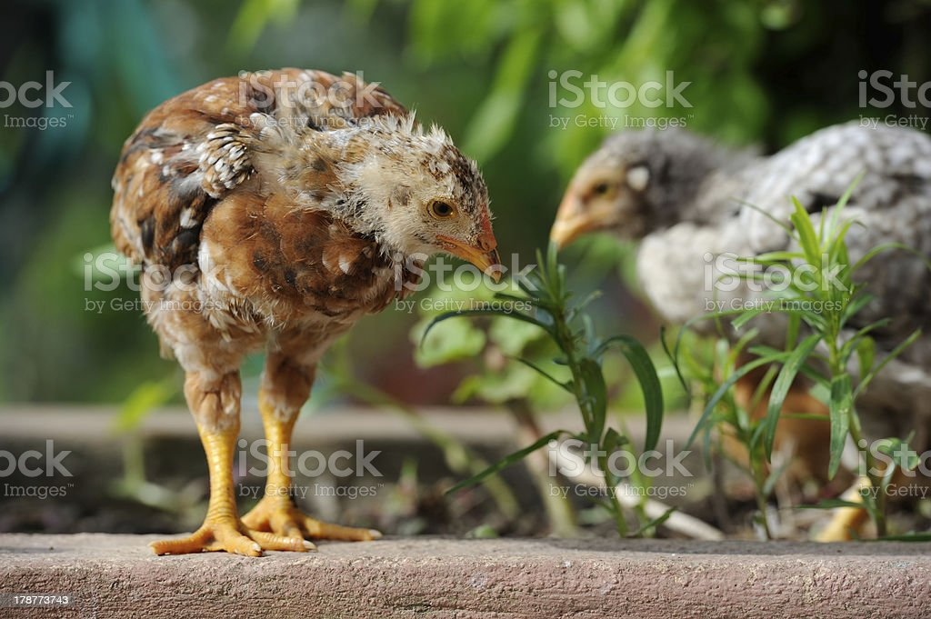 Cute Baby Chickens royalty-free stock photo