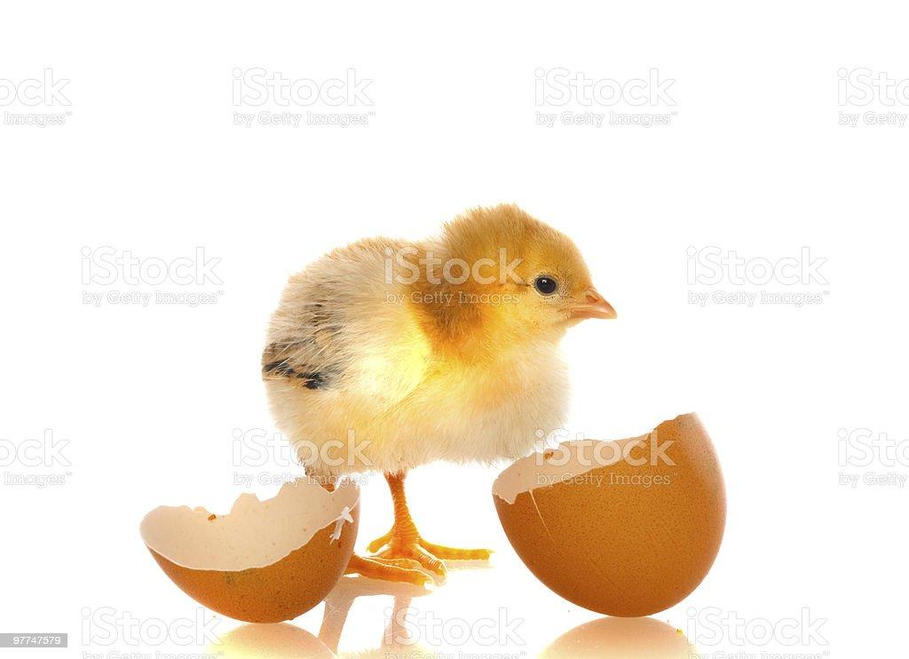 cute baby chicks, royalty-free stock photo