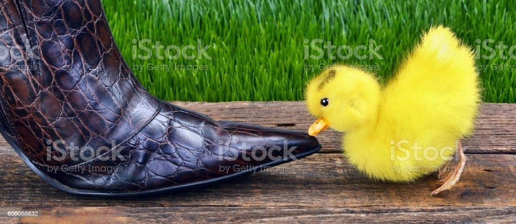 Cute Baby Ducky. stock photo