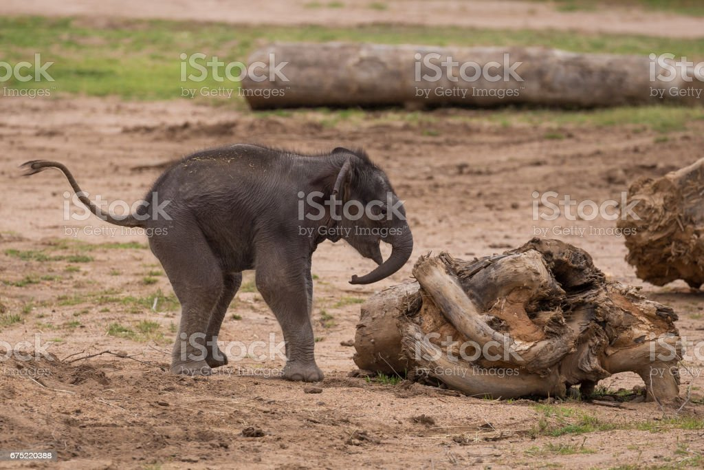 Cute baby elephant approaches a collection of sticks stock photo