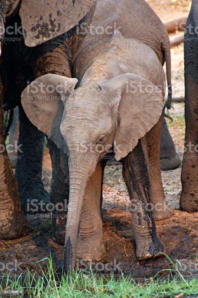 Cute Baby Elephant on a waterhole in Botswana stock photo